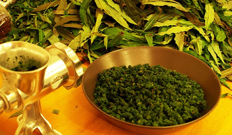 Иван-чай (кипрей)- выращивание из семян, посадка и уход, полезные свойства