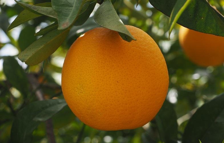 Плод Мандарин на дереве