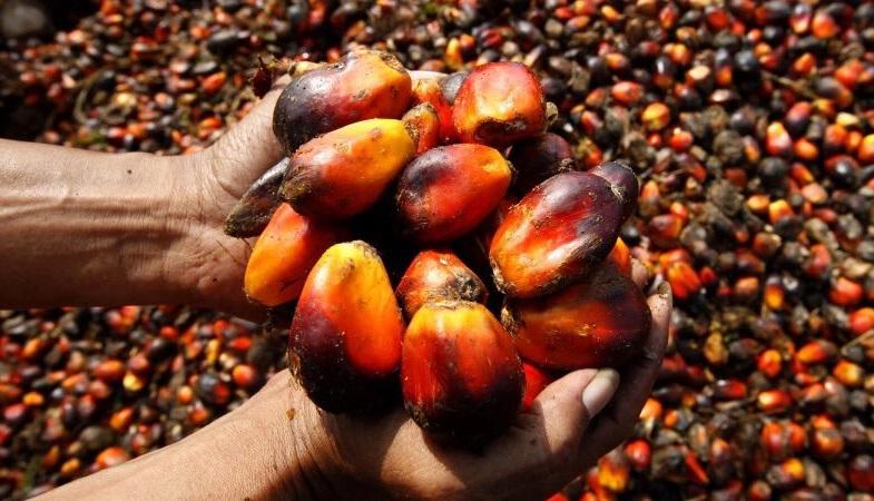 Плоды пальмы для масла