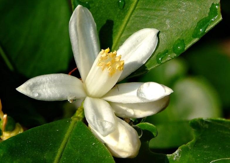 Цветок мандарина