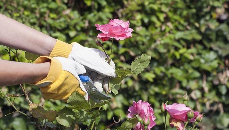 Когда надо делать обрезку роз