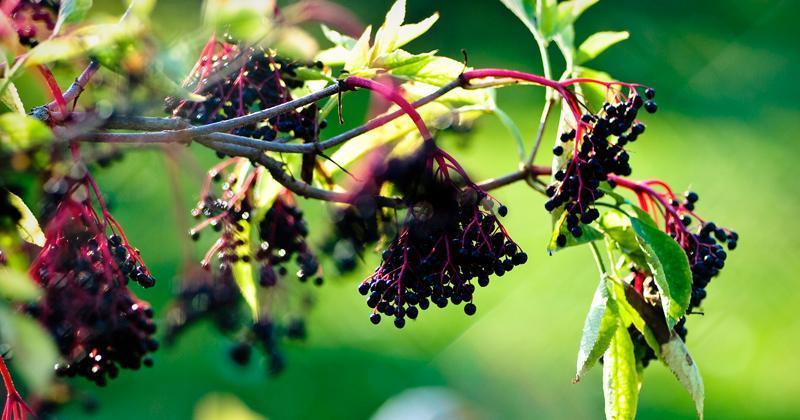 грозьдья бузины