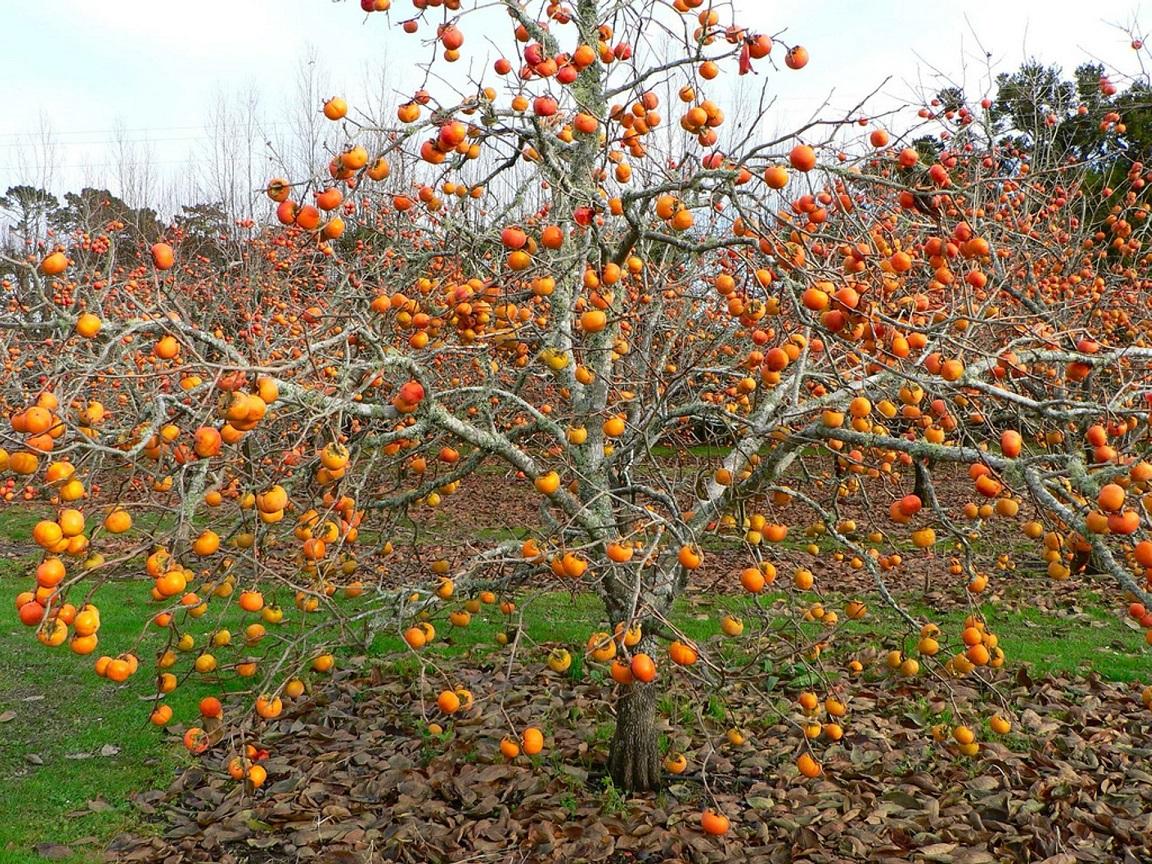хурма дерево