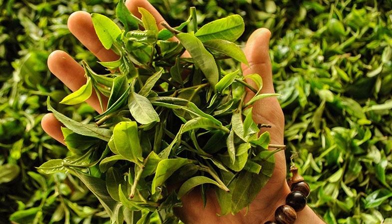 Зеленый чай польза для здоровья